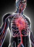 3D illustration of Human Internal System - Circulatory System. Stock Image