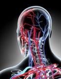 3D illustration of Human Internal System - Circulatory System. Royalty Free Stock Photos