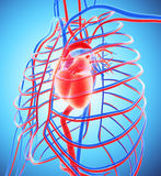 3D illustration of Human Internal System - Circulatory System. Royalty Free Stock Photography