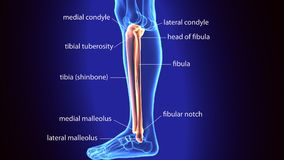3D Illustration of Human Skeleton Tibia and Fibula Bones. Its upper extremity is small, placed toward the back of the head of the tibia, below the level of the Royalty Free Stock Photo
