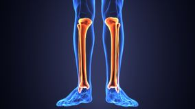 3D Illustration of Human Skeleton Tibia and Fibula Bones. The tibia /ˈtɪbiə/ plural tibiae /ˈtɪbii/ or tibias, also known as the shinbone or shankbone, is Royalty Free Stock Photo