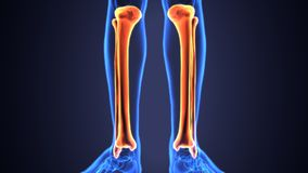 3D Illustration of Human Skeleton Tibia and Fibula Bones. The tibia /ˈtɪbiə/ plural tibiae /ˈtɪbii/ or tibias, also known as the shinbone or shankbone, is Stock Image
