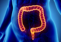 3D illustration of Large Intestine. Royalty Free Stock Photo