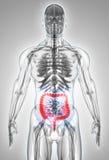 3D illustration of Large Intestine. Royalty Free Stock Photography