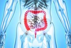 3D illustration of Large Intestine. 3D illustration of Large Intestine, Part of Digestive System royalty free illustration
