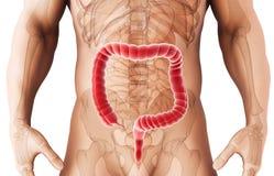3D illustration of Large Intestine. Royalty Free Stock Image
