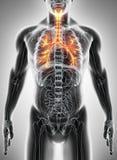 3D illustration of Larynx Trachea Bronchi. Royalty Free Stock Image