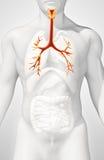 3D illustration of Larynx Trachea Bronchi. Stock Photography