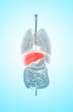 3D illustration of Liver. 3D illustration of Liver - Part of Digestive System Royalty Free Stock Photo