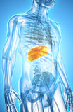 3D illustration of Liver. 3D illustration of Liver - Part of Digestive System Stock Photography
