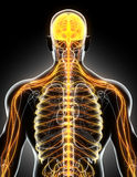 3D illustration male nervous system. Royalty Free Stock Image