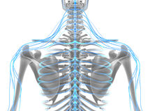 3D illustration male nervous system. 3D illustration male nervous system, medical concept Royalty Free Stock Photography