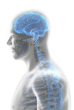 3D illustration male nervous system. Stock Image