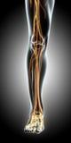 3D illustration male nervous system. 3D illustration male nervous system, medical concept Royalty Free Stock Photo
