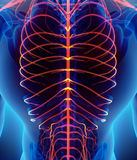 3D illustration male nervous system. Stock Images