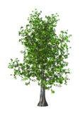 3D Illustration Maple Tree on White Stock Image