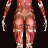 3D  illustration of muscles and anatomy. The human body is the entire structure of a human being. It is composed of many different types of cells that together Royalty Free Stock Photography