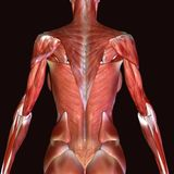 3D  illustration of muscles and anatomy. The human body is the entire structure of a human being. It is composed of many different types of cells that together Stock Photo