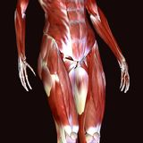3D  illustration of muscles and anatomy. The human body is the entire structure of a human being. It is composed of many different types of cells that together Stock Photos
