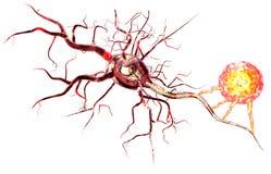 3d illustration of nerve cells Royalty Free Stock Image