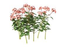 3D Illustration Pink Geranium on White Stock Image
