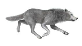 3D Illustration Polar Wolf on White Stock Image