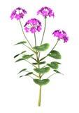 3D Illustration Purple Geranium on White Stock Photo