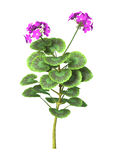 3D Illustration Purple Geranium on White Royalty Free Stock Photos