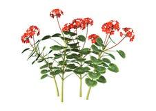 3D Illustration Red Geranium on White Stock Photos