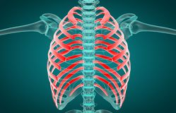 3D illustration of Ribs, medical concept stock illustration