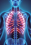 3D illustration of Ribs, medical concept. 3D illustration of Ribs - Part of Human Skeleton Stock Photo