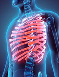 3D illustration of Ribs, medical concept. Royalty Free Stock Photos