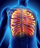 3D illustration of Ribs, medical concept. Stock Image