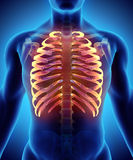3D illustration of Ribs, medical concept. 3D illustration of Ribs - Part of Human Skeleton Royalty Free Stock Photography