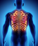 3D illustration of Ribs, medical concept. Stock Images