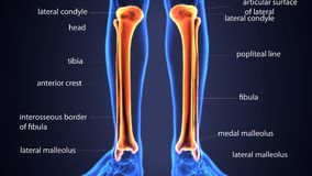 3d illustration of skeletion tibia and fibula bone anatomy. The fibula or calf bone is a leg bone located on the lateral side of the tibia, with which it is Stock Photography