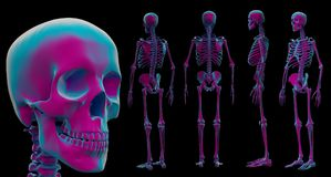 3d illustration of skeleton by X-rays Royalty Free Stock Photography