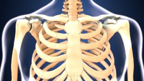 3d illustration of skeleton ribs anatomy. The rib cage is an arrangement of bones in the thorax of all vertebrates except the lamprey and the frog. It is formed Stock Photo