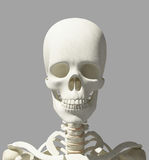 3D illustration of skull anatomy - part of human skeleton. Royalty Free Stock Photography
