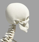 3D illustration of skull anatomy - part of human skeleton. Royalty Free Stock Images