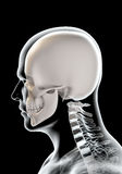 3D illustration of skull anatomy - part of human skeleton. Royalty Free Stock Image