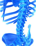 3D illustration of Spine, medical concept. 3D illustration of Spine - Part of Human Skeleton Stock Image