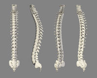 3D illustration of Spine, medical concept. 3D illustration of Spine - Part of Human Skeleton Royalty Free Stock Images