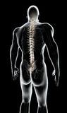 3D illustration of Spine, medical concept. 3D illustration of Spine - Part of Human Skeleton Royalty Free Stock Image