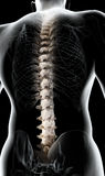 3D illustration of Spine, medical concept. 3D illustration of Spine - Part of Human Skeleton Royalty Free Stock Photos