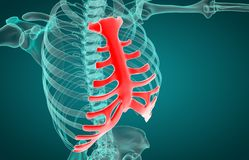 3D illustration of Sternum, medical concept stock images