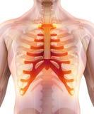 3D illustration of Sternum, medical concept. Stock Images