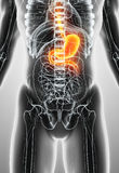 3D illustration of Stomach. 3D illustration of Stomach, Part of Digestive System Royalty Free Stock Photography