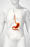 3D illustration of Stomach. 3D illustration of Stomach, Part of Digestive System Stock Photography