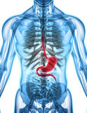 3D illustration of Stomach. 3D illustration of Stomach, Part of Digestive System, anatomy detail Royalty Free Stock Images